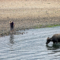 Asia, China, Guilin. Water buffalo along Li River.