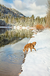 """""""Golden Retriever in Autumn 3"""" - Photograph of a Golden Retriever dog along the shoreline of Coldstream Pond (also known as Donner Pond) near Donner Lake in Truckee, California."""