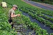 Man picking strawberries in a field, Riverford organic farm, Devon, UK food industry
