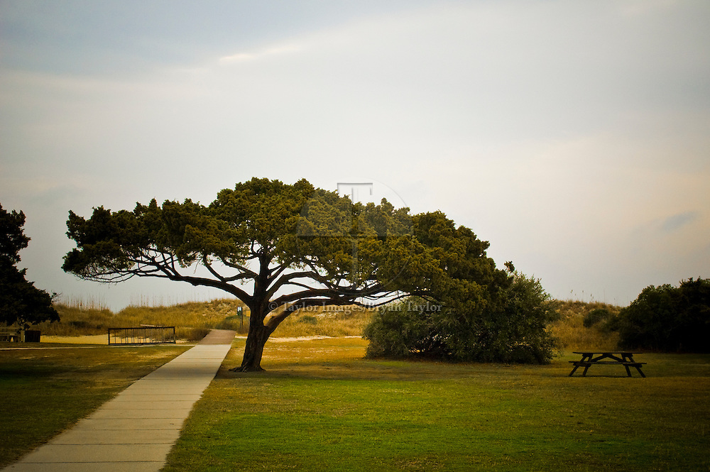 Spreading canopy tree and lone picnic table at Huntington Beach State Park in Murrells Inlet, South Carolina. Picnic area under spreading maritime cypress in the early morning hours at Huntington Beach State Park.
