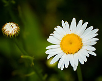 Daisy flowers. Image taken with a Nikon 1 V3 camera and 70-300 mm VR lens.