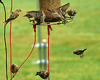 American Goldfinch and several Pine Siskin. Image taken with a Nikon D5 camera and 200-500 mm f/5.6 VR lens