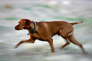 SHOT 4/28/06 7:07:18 PM -Tanner, a two year-old male Vizsla, on the prowl hunting in Fruita, Co. The Vizsla is a dog breed originating in Hungary, which belongs under the FCI group 7. The Hungarian or Magyar Vizsla are sporting dogs and loyal companions, in addition to being the smallest of the all-round pointer-retriever breeds. (Photo by Marc Piscotty / © 2006)