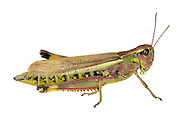 Large Marsh Grasshopper female - Stethophyma grossum