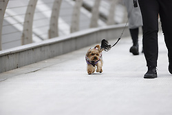 © Licensed to London News Pictures. 04/05/2021. London, UK. Windy conditions for a Yorkshire Terrier crossing the Millennium footbridge over the River Thames in the City of London. High winds and heavy rain are affecting parts of the UK today. Photo credit: Peter Macdiarmid/LNP