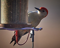 Red-bellied Woodpecker. Image taken with a Nikon D5 camera and 600 mm f/4 VR lens (ISO 360, 600 mm, f/4, 1/1250 sec)