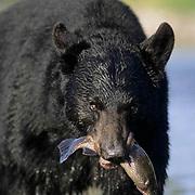 Black Bear, (Ursus americanus) Montana. Adult at river fishing. Fall.  Captive Animal.