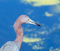 Reddish Egret fishing in Orlando Florida wetlands
