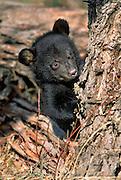 Black Bear cub (captive), near Limon, Colorado. Scientific name: Ursus americanus.