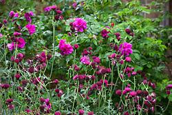 Cirsium rivulare 'Atropurpureum' with Rosa 'Roseraie de l'Hay'