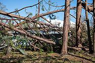 Tree downed by Hurricane Michael in Lynn Haven, Floirda