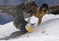 Lammergeier; Gypaetus barbatos, Cebollar, Torla, Aragon, Spain