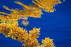 loggerhead sea turtle hatchling, Caretta caretta, sheltering among sargassum weed, Sargassum natans, a brown algae, for protection in open water, Sargasso Sea, North Atlantic Ocean