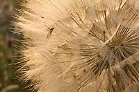 A spider on fruit of goat's beard (Tragopogon pratensis). Delta of the Neretva river (trans-boundary area Croatia-Bosnia-Herzegovina/Croatia),  Dalmatia region, Croatia.  May 2009<br /> Elio della Ferrera / Wild Wonders of Europe