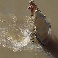 Australia, Northern Territory, Saltwater Crocodile (Crocodylus porosus) leaps for dangled meat along Adelaide River