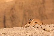 juvenile Nubian Ibex (Capra ibex nubiana). Photographed in Israel in January
