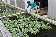Recycling water is part of the process. All water is reused. The plants including lilies are part of that process. There are also fush living in the water<br /><br />Sky Greens is a pioneering adventure in vertyical farming, one of the first of its kind, founded by Daniel Chea.<br /><br />As written in their website:<br /><br />World's first low carbon hydraulic water-driven, tropical vegetable urban vertical farm, using green urban solutions to achieve enhanced green sustainable production of safe, fresh and delicious vegetables, using minimal land, water and energy resource<br /><br />Locally grown vegetables in Singapore currently constitute only 7% of local consumption. Demand for local vegetables exceeds supply. Singaporeans trust the quality, freshness and safety of local vegetables, grown using good agricultural practice under the supervision of the Agri-Food & Veterinary Authority of Singapore.<br /> <br /> The A-Go-Gro vertical systems which are 9m in height (3 storeys), housed in protected-outdoor green houses, allow tropical leafy vegetables to be grown all year round at significantly higher yields (than traditional growing methods) that are safe, of high quality, fresh and delicious.<br /><br />Green urban technologies are used on the farm, which is easy and environmentally friendly to operate and maintain. Patented low carbon hydraulic water-driven green technology. Soil-mix, fertilizers and water are controlled. Modular A-frame structures for easy installation & maintenance. Outdoor green houses, which use abundant sunlight in the tropics throughout the year. Green technology is used to achieve the 3R ( reduce, reuse and recycle)