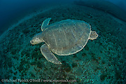 A critically endangered Kemp's Ridley Sea Turtle, Lepidochelys kempii, swims along a deep reef offshore Palm Beach, Florida, United States.