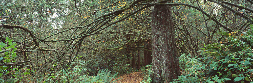 Big old growth tree with path