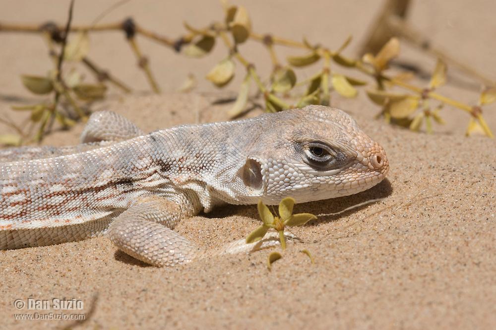 Desert iguana, Dipsosaurus dorsalis, Algodones dunes, Imperial County, California