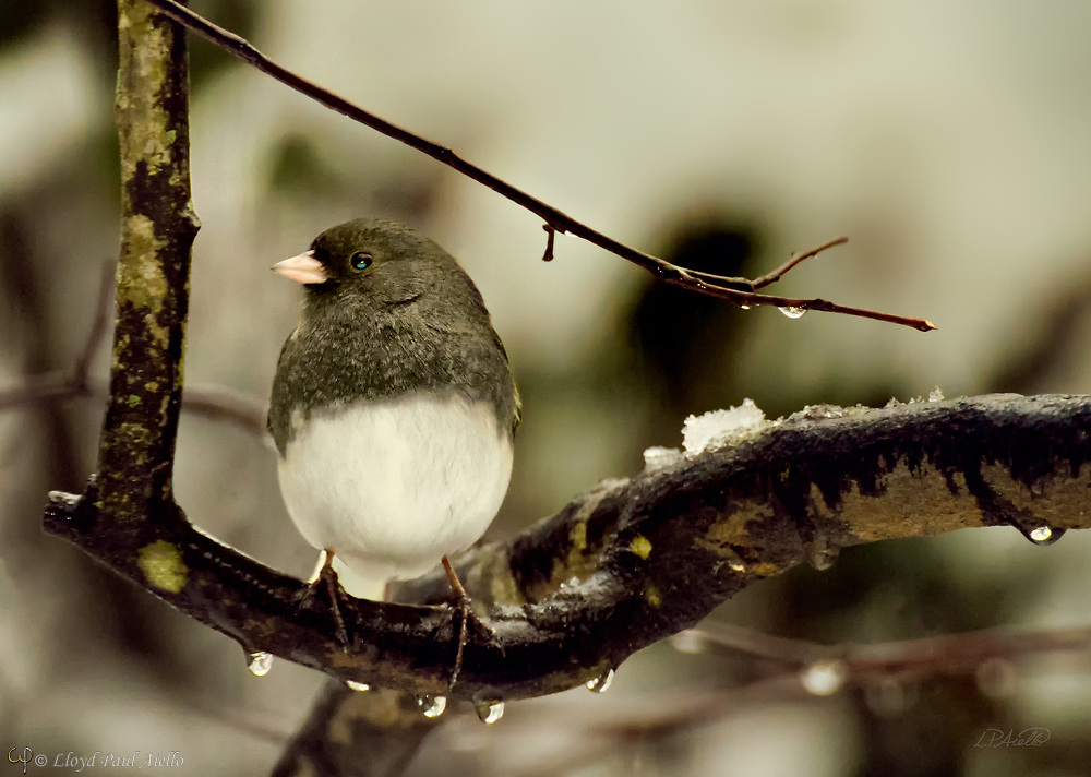 This dark-eyed junco (Junco hyemalis) is perched on an Eastern Redbud tree (Cercis canadensis ) during a snowstorm in Belmont, Massachusetts.  Juncos are a genus of small American sparrows that are common across much of temperate North America and in summer may range far into the Arctic. The adult can have a surprising amount of variation in plumage color and details. Males tend to have darker, more conspicuous markings than the females. The dark-eyed junco is 13 to 17.5 cm (5.1 to 6.9 in) long and has a wingspan of 18 to 25 cm (7.1 to 9.8 in).  They may weigh from 18 to 30 g (0.63 to 1.06 oz). The dark-eyed junco song is generally a trill, but calls can include tick sounds and very high-pitched tinkling chips.