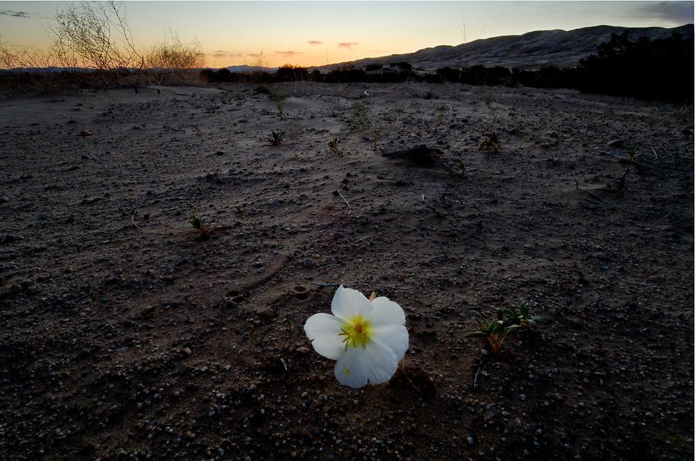 Desert primrose, twilight, April, Mohave National Preeserve, California, USA