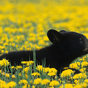 Black Bear in a field of dandelions in Montana. Captive Animal