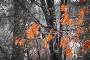Black oak leaves in winter, Yosemite Valley, Yosemite National Park, California USA