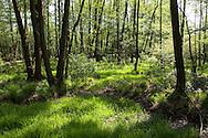 Europa, Deutschland, Nordrhein-Westfalen, Troisdorf, Auwald in der Wahner Heide. - <br /> <br /> Europe, Germany, Troisdorf, North Rhine-Westphalia, lowland forest in the Wahner Heath.