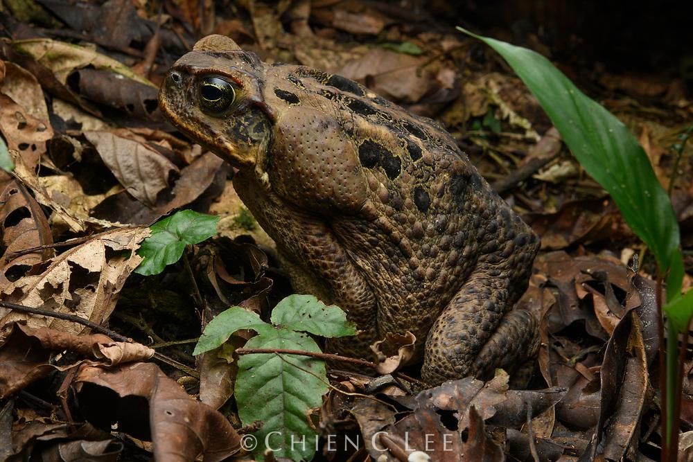 Cane Toad (Bufo marinus), in natural habitat. Yasuní National Park, Ecuador.