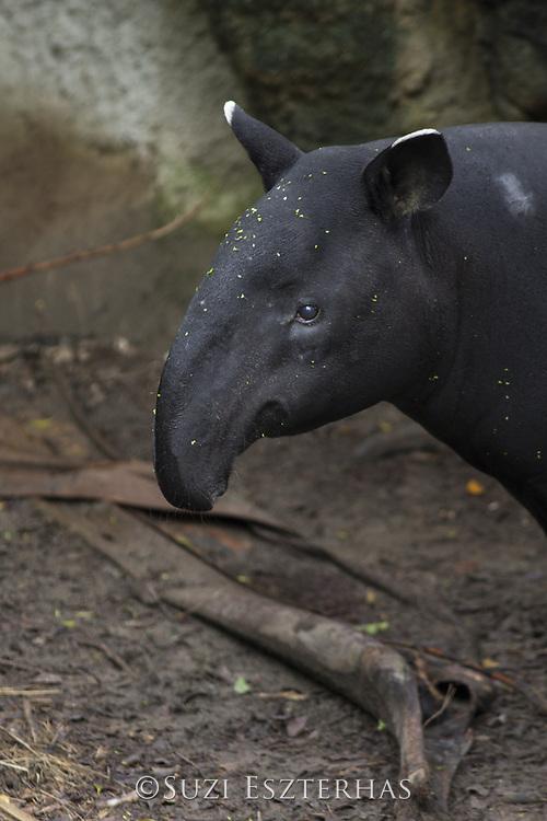 Malayan Tapir <br /> Tapirus indicus<br /> Native to Southeast Asia<br /> *captive