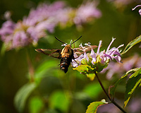 Snowberry Clearwing Moth (Hemaris diffinis). Image taken with a Nikon D850 camera and 70-300 mm VR lens