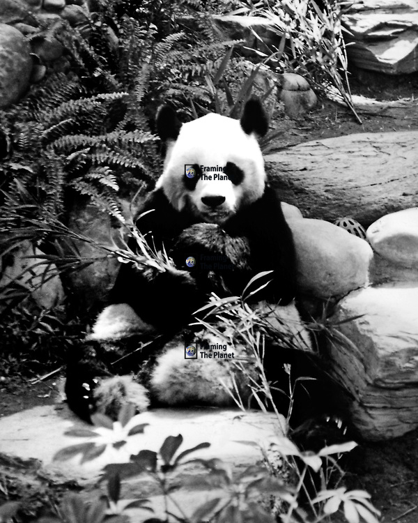 This black and white image shows the amazing Giant Panda, unfortunately in captivity here, it is almost impossible to see in the wilds of China. Maybe one day we will see the bear in the wild again provided we can provide the bamboo habitat they need. I took this photograph many years ago when I was still in college and was on a trip to China and Hong Kong, I love this area of the world and this is easily one of my favourite animals.