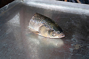 Fish head cut off on a steel tray at a wet market in in Shanghai, China. The head of the fish is a prized part and will always be used for fish head soup in Chinese culture.