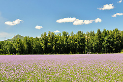 June 16, 2017 - Beijing, Beijing, China - Beijing, CHINA-June 16 2017: (EDITORIAL USE ONLY. CHINA OUT) Flowers blossm at the One-hundred-li Landscape Corridor in Yanqing District, Beijing. (Credit Image: © SIPA Asia via ZUMA Wire)