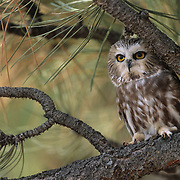 Northern Saw-whet Owl (Aegolius acadicus). Captive Animal