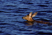 Fawn swimming across lake - Quebec, Canada
