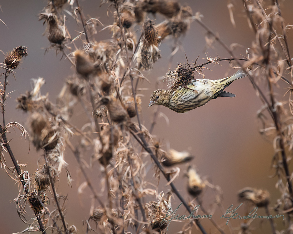 """Pine Siskin in native swamp thistle. This image was selected as a Finalist in the """"Nature's Best Photography"""" competition."""