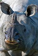 Indian rhinoceros (Rhinoceros unicornis) in Kaziranga National Park, Assam, north-east India.