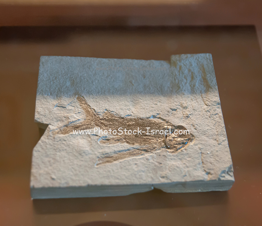 thoracopterus niederristi. Thoracopteridae is an extinct family of prehistoric bony fish; classified with the order Peltopleuriformes. This lineage of Triassic flying fish-like Perleidiformes, converted their pectoral and pelvic fins into broad wings very similar to those of their modern counterparts.