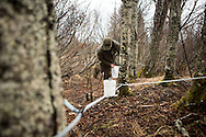 Jake Beaudoin collecting Birch sap to be evaporated down into Birch Syrup in Homer, Alaska. Jake produces about 12-20 gallons of birch syrup each spring during breakup that he sells locally to individuals and restaurants.