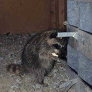 Raccoon, (Procyon lotor) Raiding chicken eggs in chicken. coop. Montana. Captive Animal.