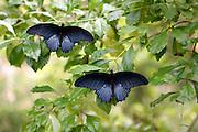 Two black Swallowtail butterflies on a bush
