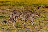 Cheetah walking, Kwara Camp, Okavango Delta, Botswana.