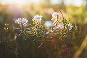 "Blooming marsh Labrador tea (Ledum palustre) in bright morning sunlight, protected landscape area ""Ādaži"", Latvia Ⓒ Davis Ulands   davisulands.com"