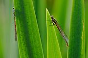 Frühe Adonislibelle, Frühe Adonisjungfer (Pyrrhosoma nymphula), diese Kleinlibelle gehört zu den ersten Libellen, die im Frühjahr aus dem Teich zum Schlupf an die Oberfläche kommen. Selent, Deutschland