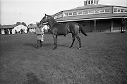 16/09/1968<br /> 09/16/1968<br /> 16 September 1968<br /> Goffs September Bloodstock Sales at the RDS, Ballsbridge, Dublin. Pictured  is the highest price of the day £9,100, Bay Colt from Ballynogan Stud.