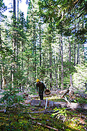 MUSHROOMS: Collecting Wild Mushrooms In Oregon.  Mushroom Forager Debby Accuardi collecting Oregon White Chanterelle Mushrooms in an undisclosed location in the Cascade Range.