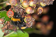 Bumble bee (probably Bombus pascuorum) resting on the underside of a bunch of leaves and berries of a Pyracantha, ready for the night.