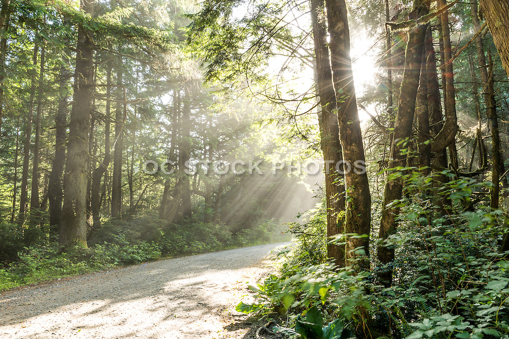 Sunlight Trail in the Quinault Rainforest